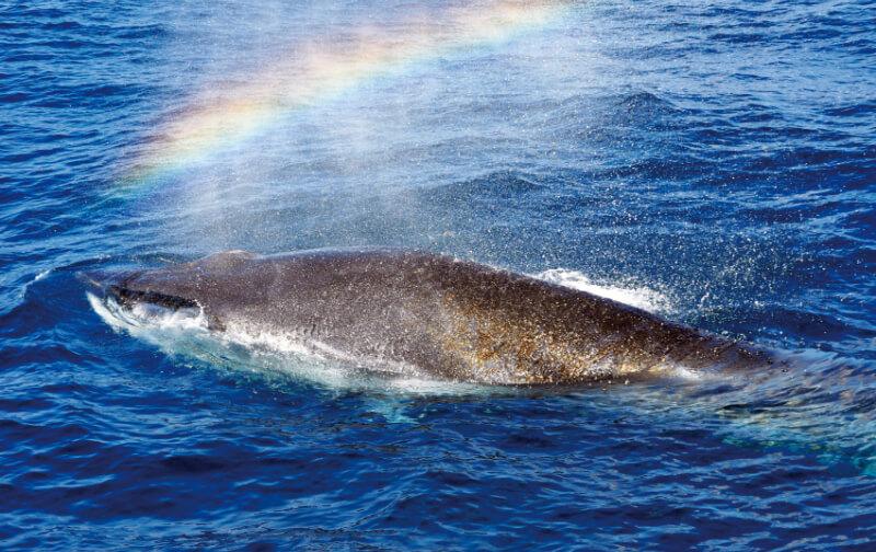 土佐湾にすむニタリクジラ
